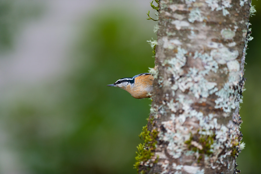 As if they weren't cute enough already, this type of nuthatch makes little meeping noises whenever they flit off to another location.
