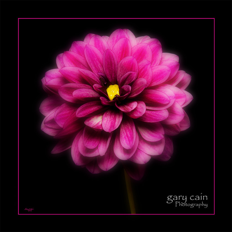 Photograph Pink Dahlia Close-Up by Gary Cain on 500px