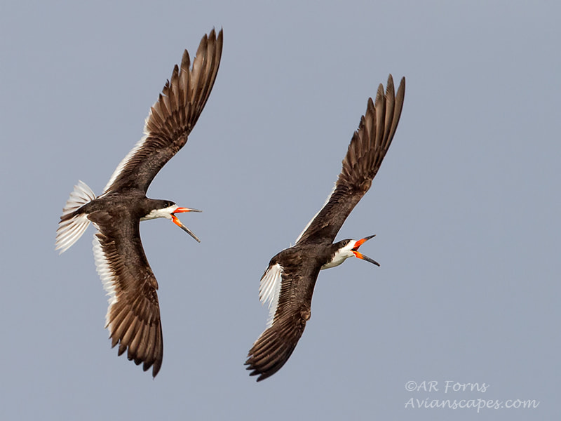 Photograph Twin Skimmers  by Alfred Forns on 500px