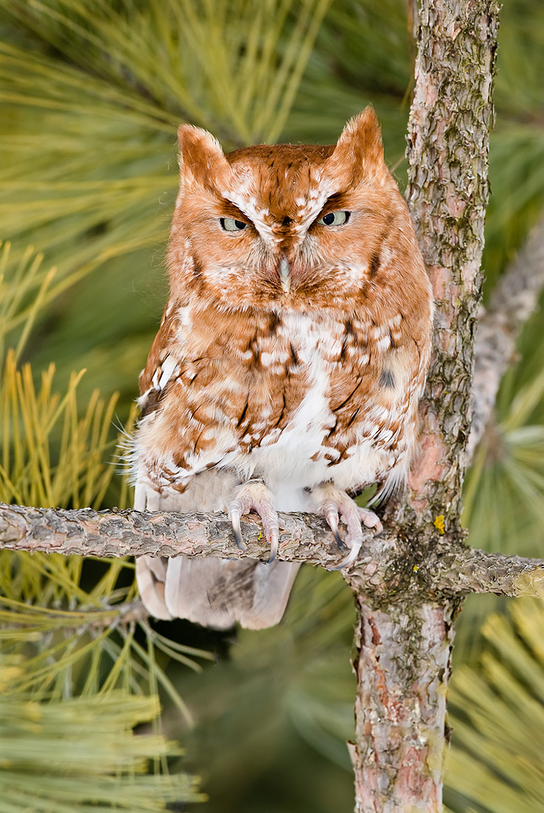 Photograph Eastern Screech Owl (Red Morph) by Mike  Lentz on 500px