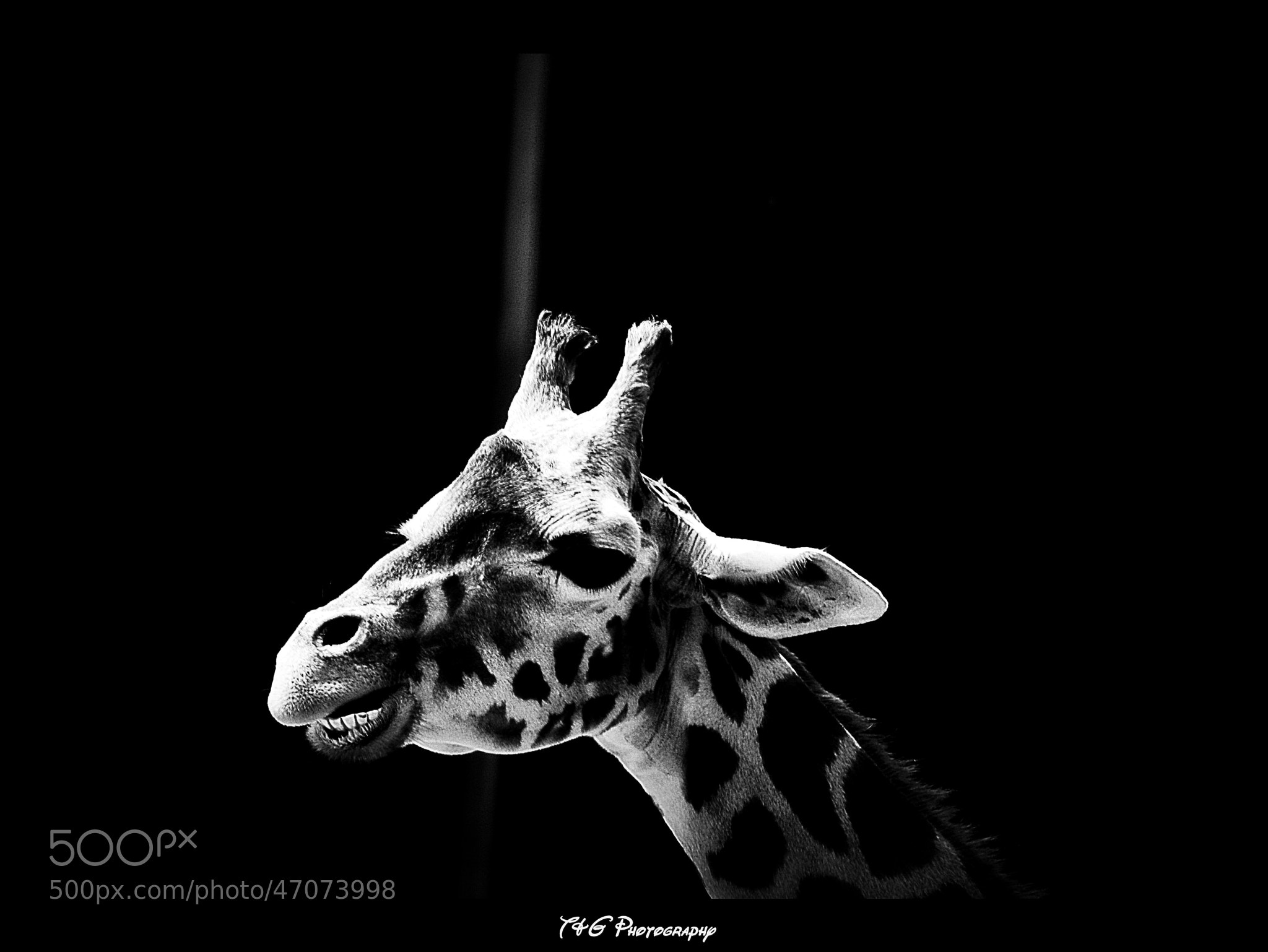 Photograph Giraffe b/w by T&G Photography  on 500px