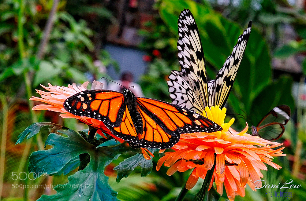 Photograph Monarch and Paper Kite butterflies in a Canary Island garden by Danielle Lewis on 500px