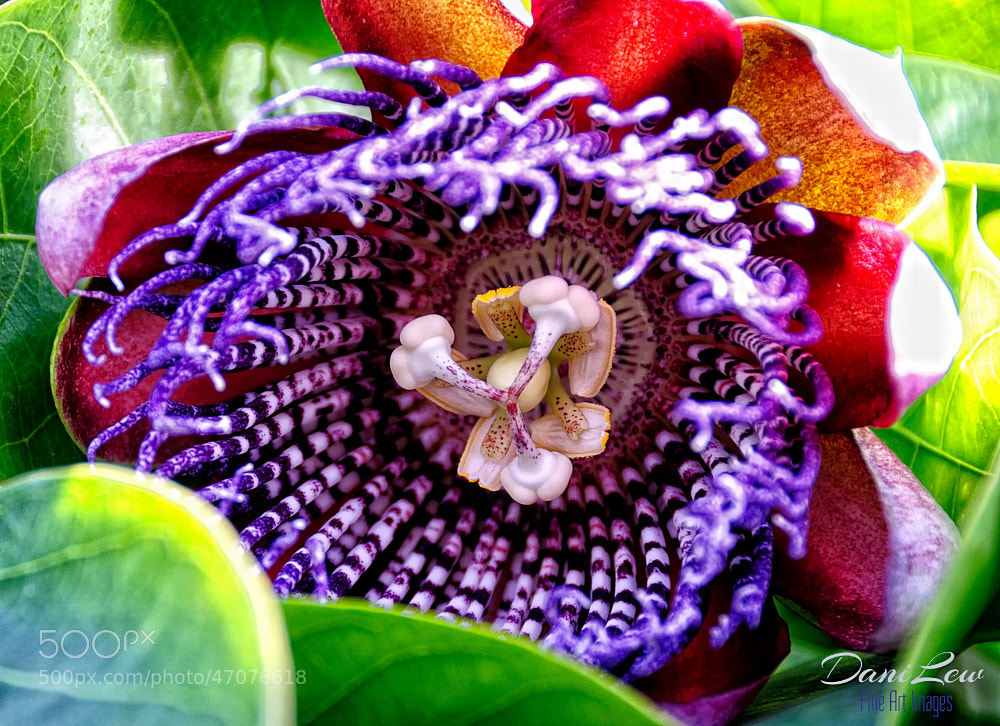 Photograph Close up of a passion flower in a Canary Island town by Danielle Lewis on 500px