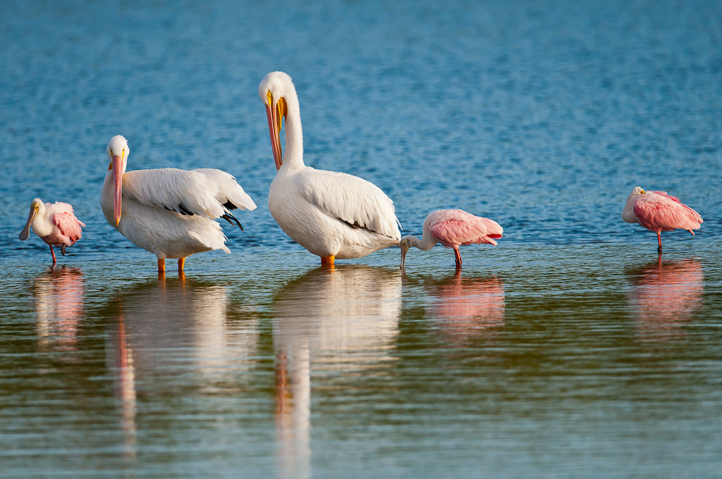 Photograph Spoonbills by Lok ng on 500px