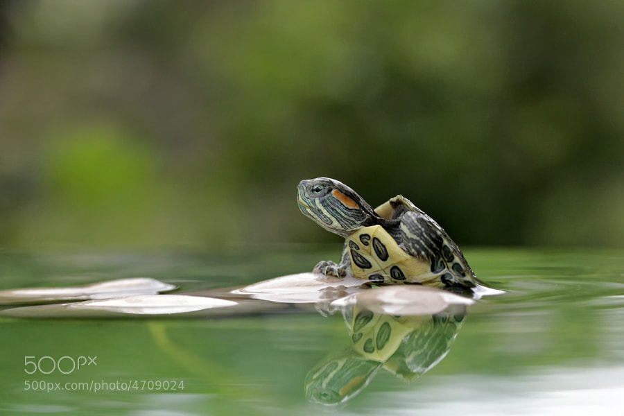 Photograph The Turtle by teguh santosa on 500px