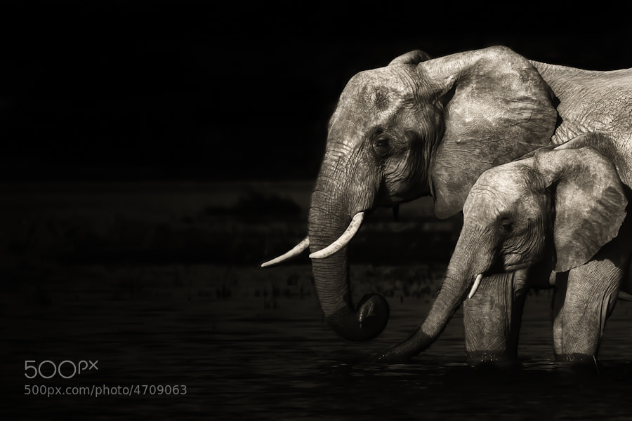 Photograph Chobe Elephants by Mario Moreno on 500px