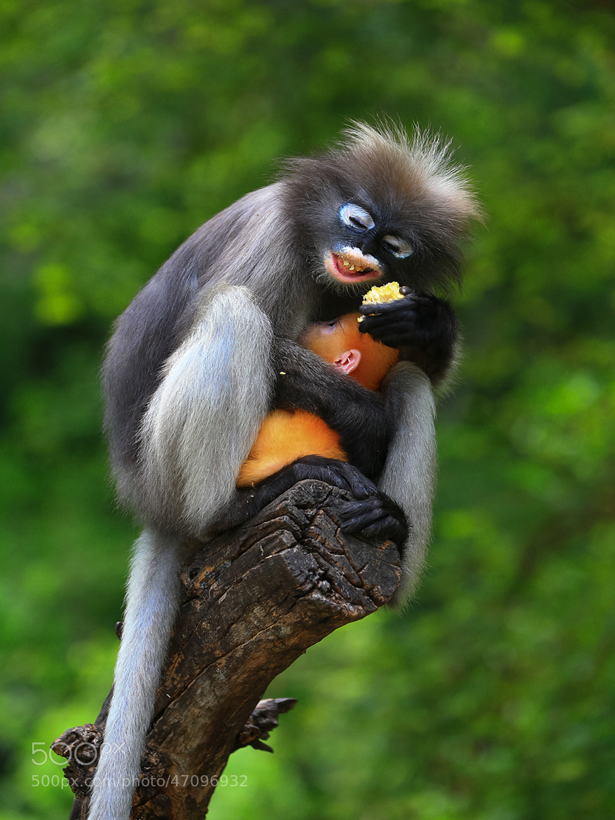 Photograph Lovely Spectacled Langur by Chayapa Srisawathsak on 500px