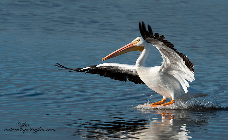 Captured this white pelican just at touchdown.  They are amazingly graceful for such a big bird.
