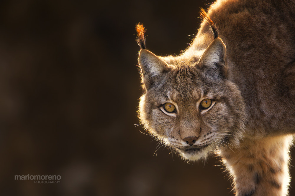 Photograph Lynx in Gold by Mario Moreno on 500px