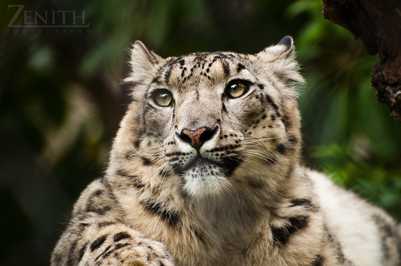 Photograph Snow Leopard by Joshua Tagicakibau on 500px