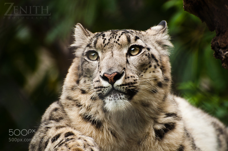 Photograph Snow Leopard by Joshua Tagicakibau on 500px