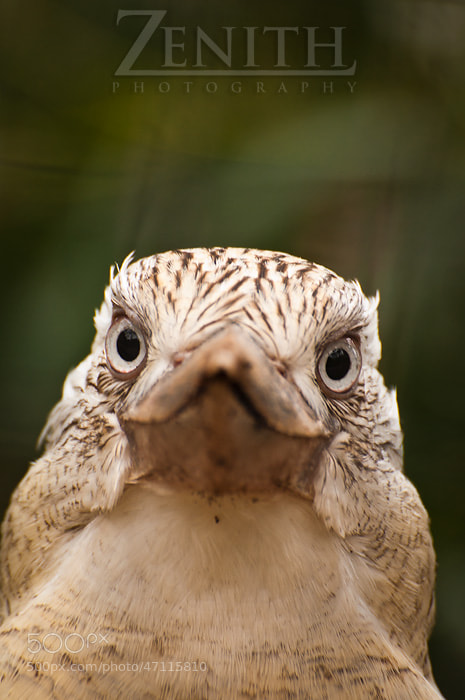 Photograph What Are You Looking At? by Joshua Tagicakibau on 500px