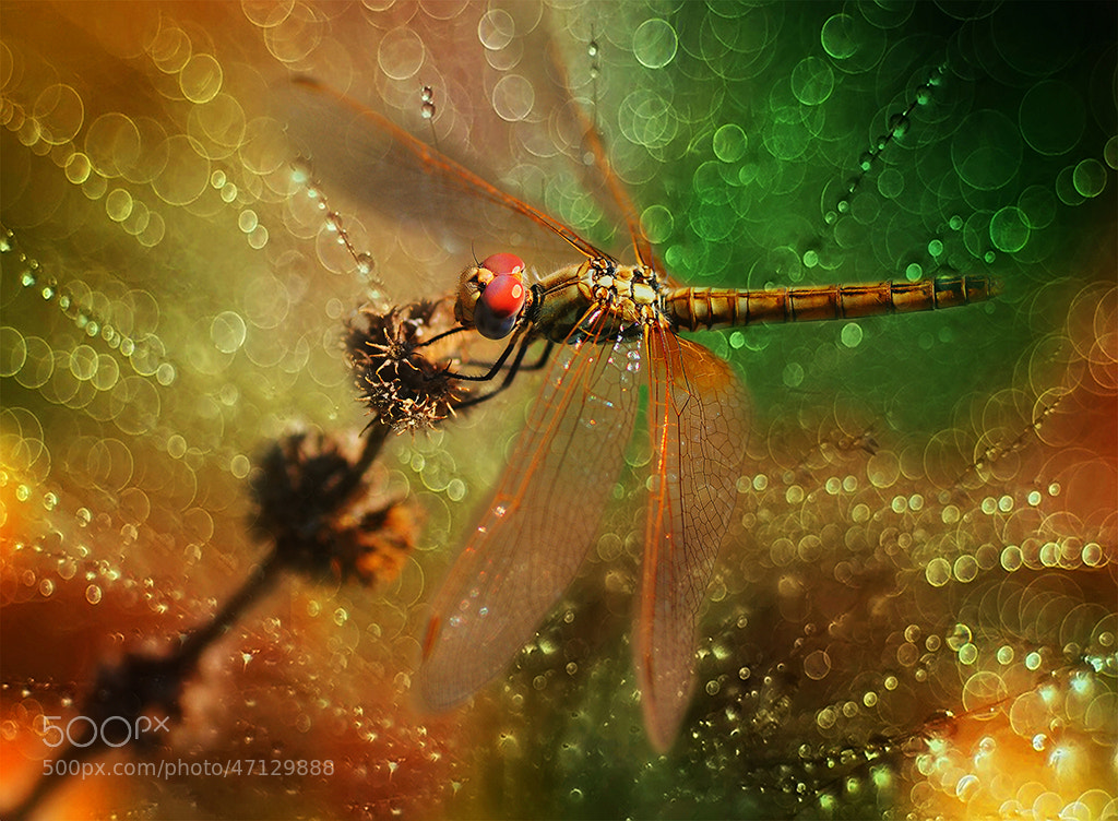 Photograph DRAGONFLY by Mustafa Öztürk on 500px