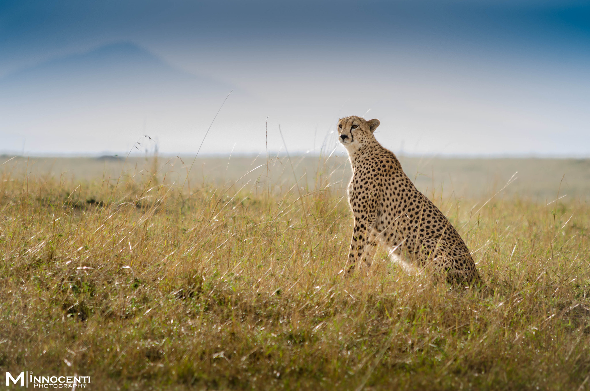 Photograph cheetah in Maasai Mara by Matteo Innocenti on 500px