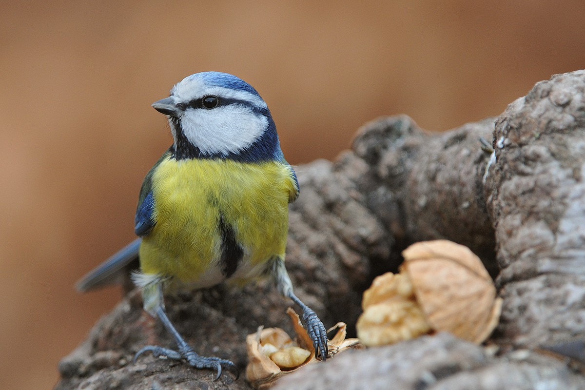 Photograph PARUS CAERULEUS by Miran Krapež on 500px