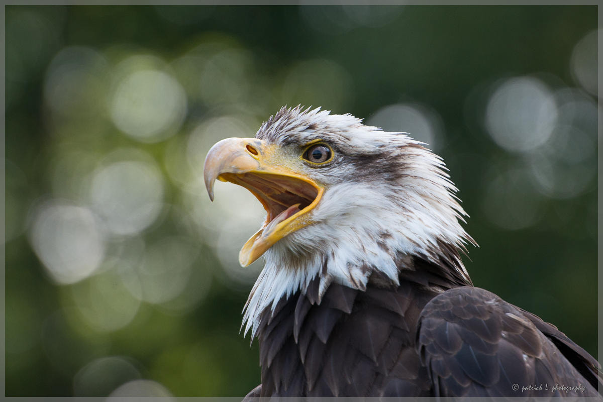 Photograph Eagle by patrick L. on 500px