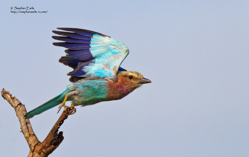 Photograph Lilac-breasted Roller by Stephen Earle on 500px