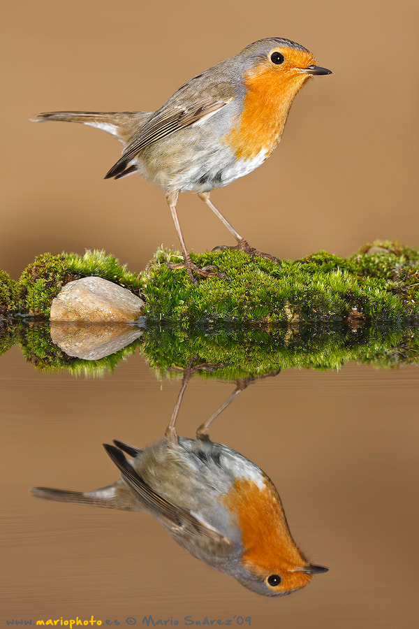 Photograph Robin reflection by Mario Suarez Porras on 500px
