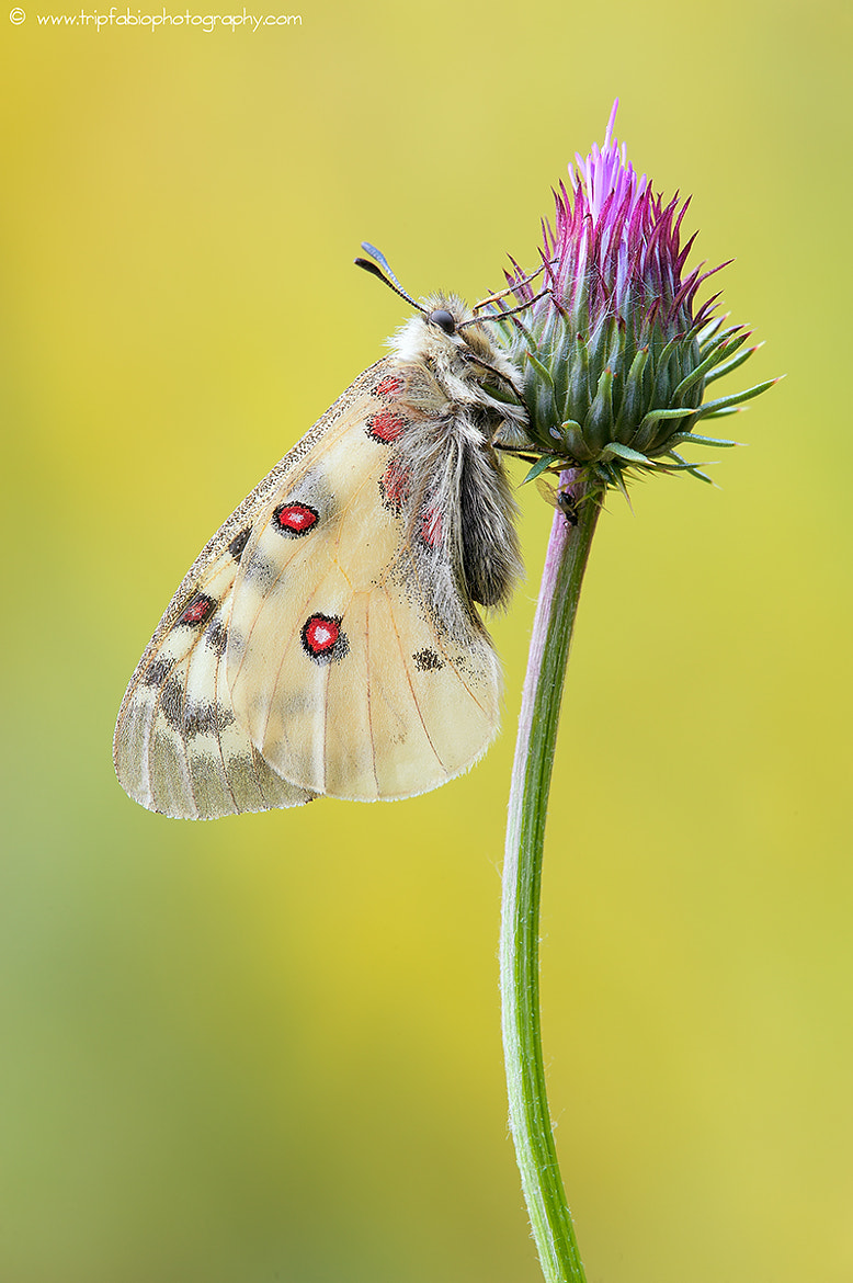Photograph Parnassius phoebus by Fabio Fornasari on 500px