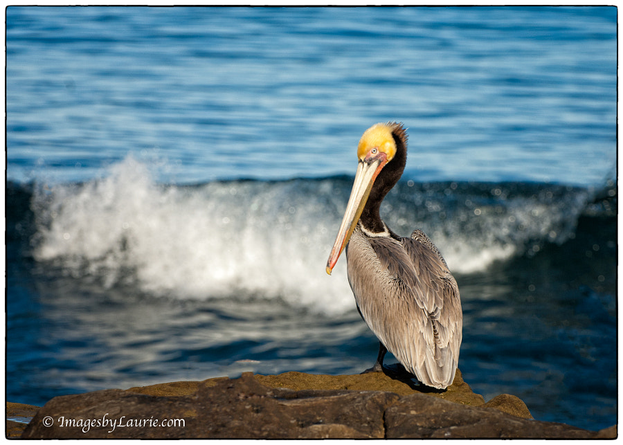 The Pelican and The Wave