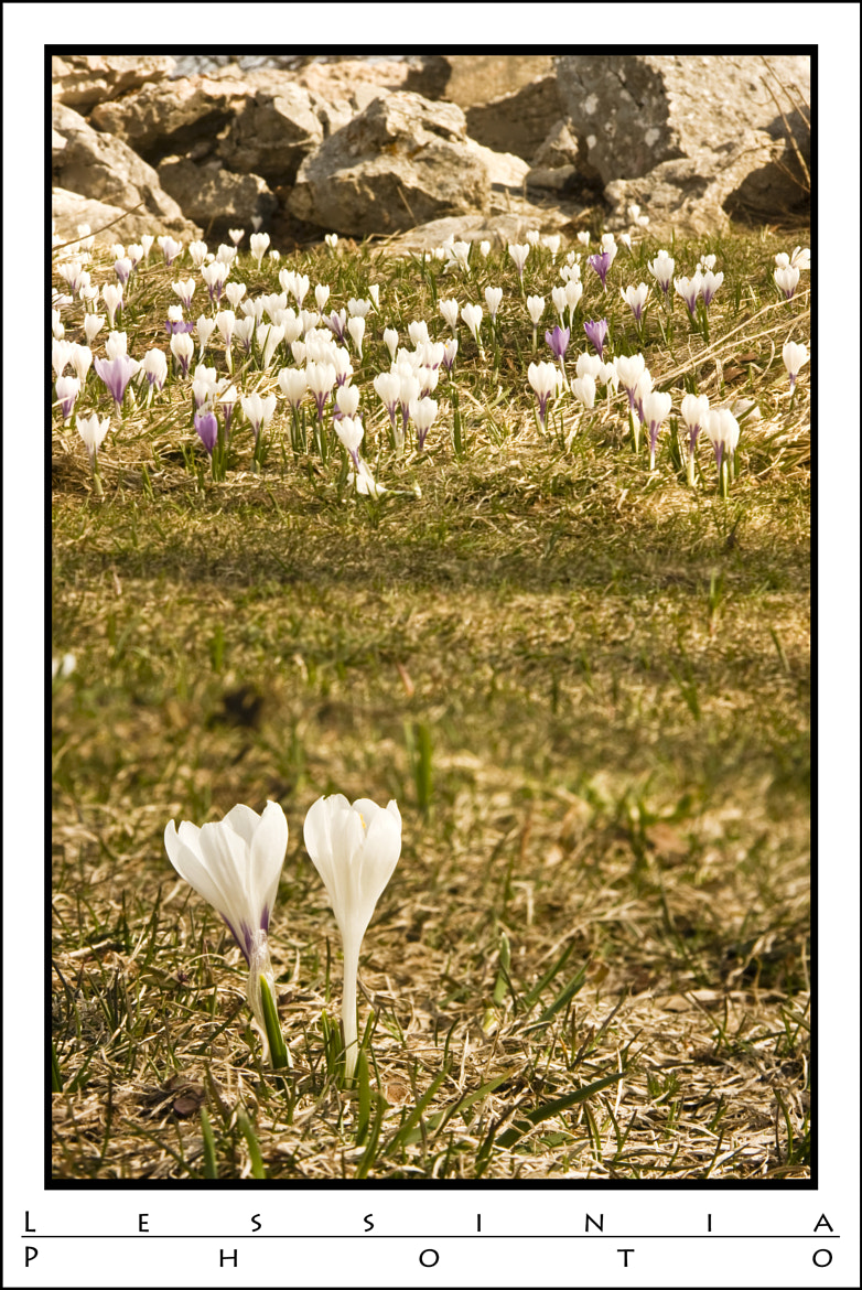Photograph Crocus in Lessinia. by Davide Furlanis on 500px