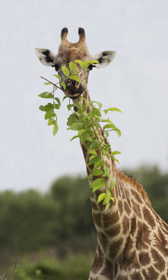 As far as I recall this is the first time I have seen a Giraffe breaking off a branch prior to earing it.