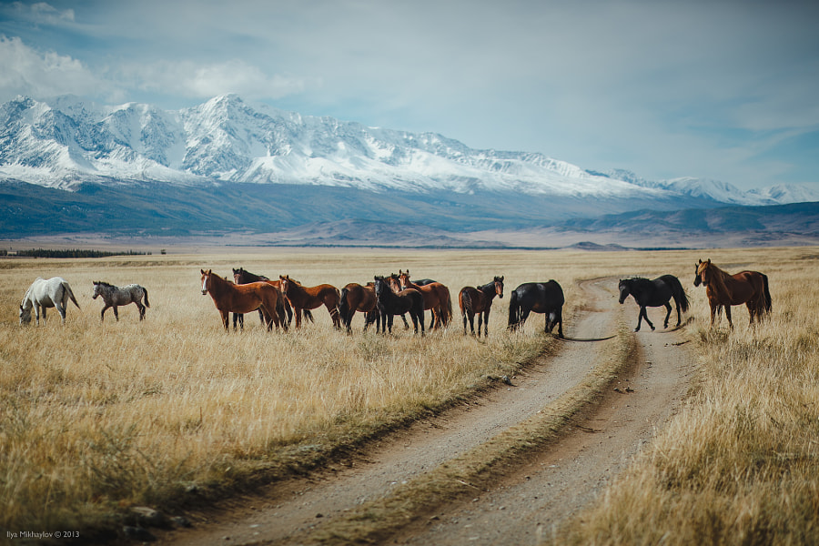 Photograph Wild horses in Altai by Ilya Mihailov on 500px