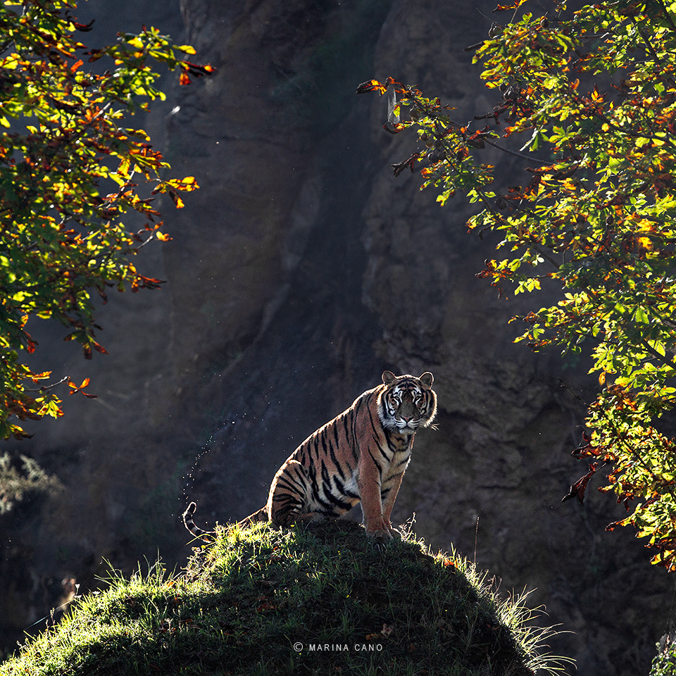 Photograph The Tiger by Marina Cano on 500px