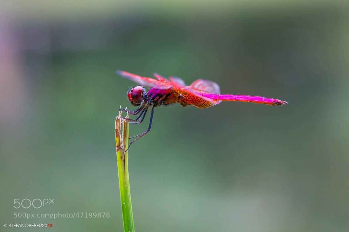 Photograph Purple Dragonfly by Stefano Beber on 500px