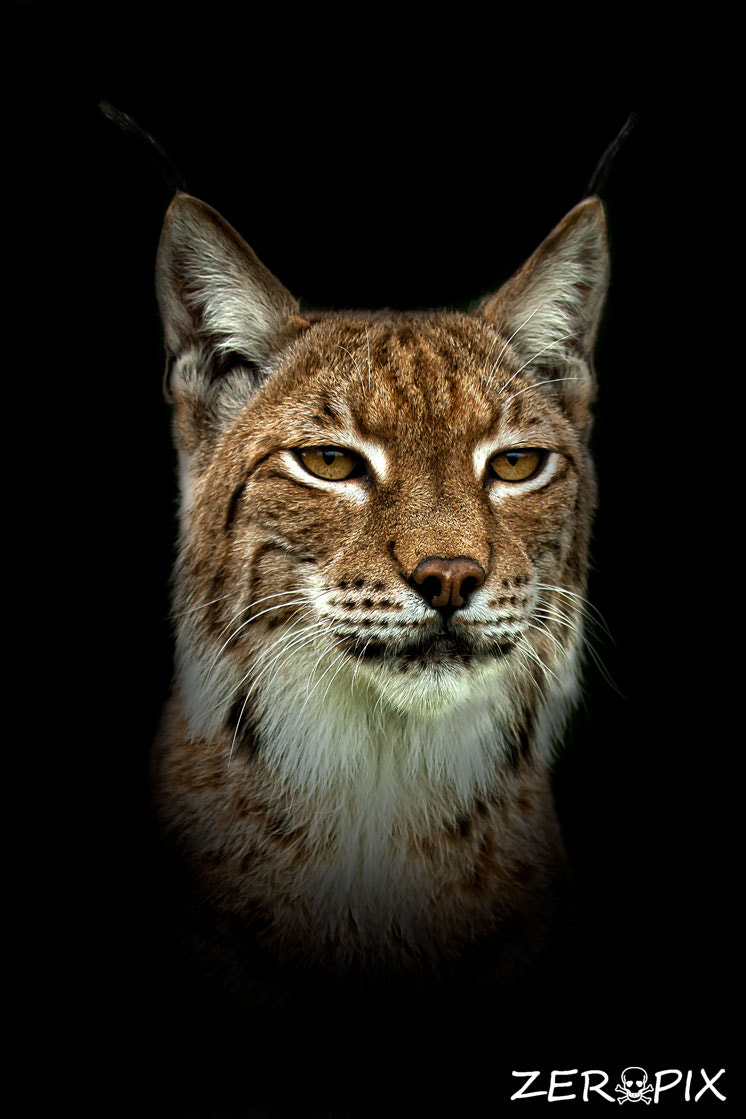 Photograph Portrait of Lynx by ZeroPix Photography on 500px