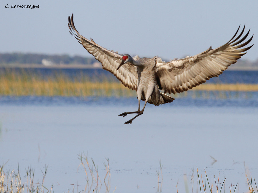Sandhill Crane coming in for a landing. St. Cloud, Florida.