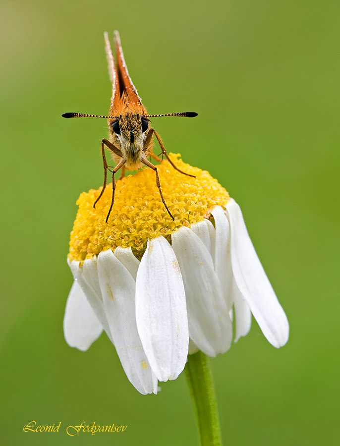 Photograph The Essex Skipper by Leonid Fedyantsev on 500px