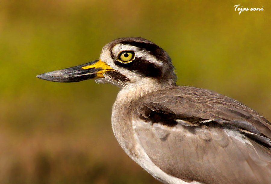 Photograph Great stone curlew by Tejas Soni on 500px