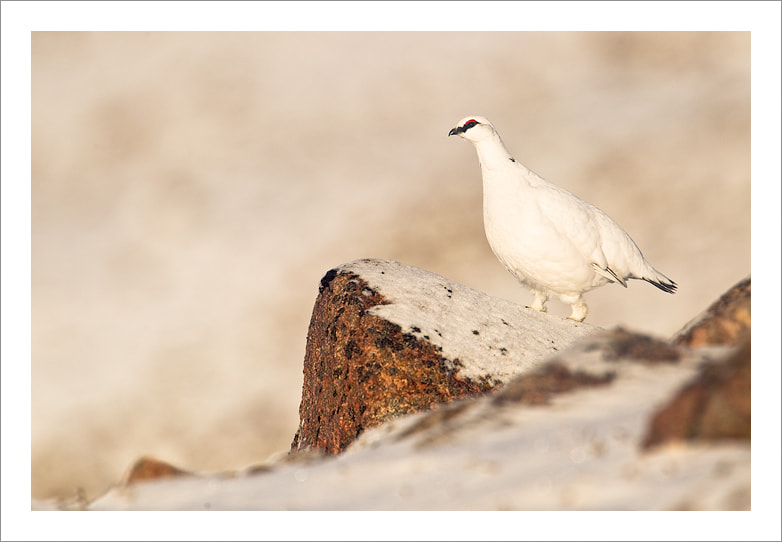 Photograph  Ptarmigan by Jules Cox on 500px