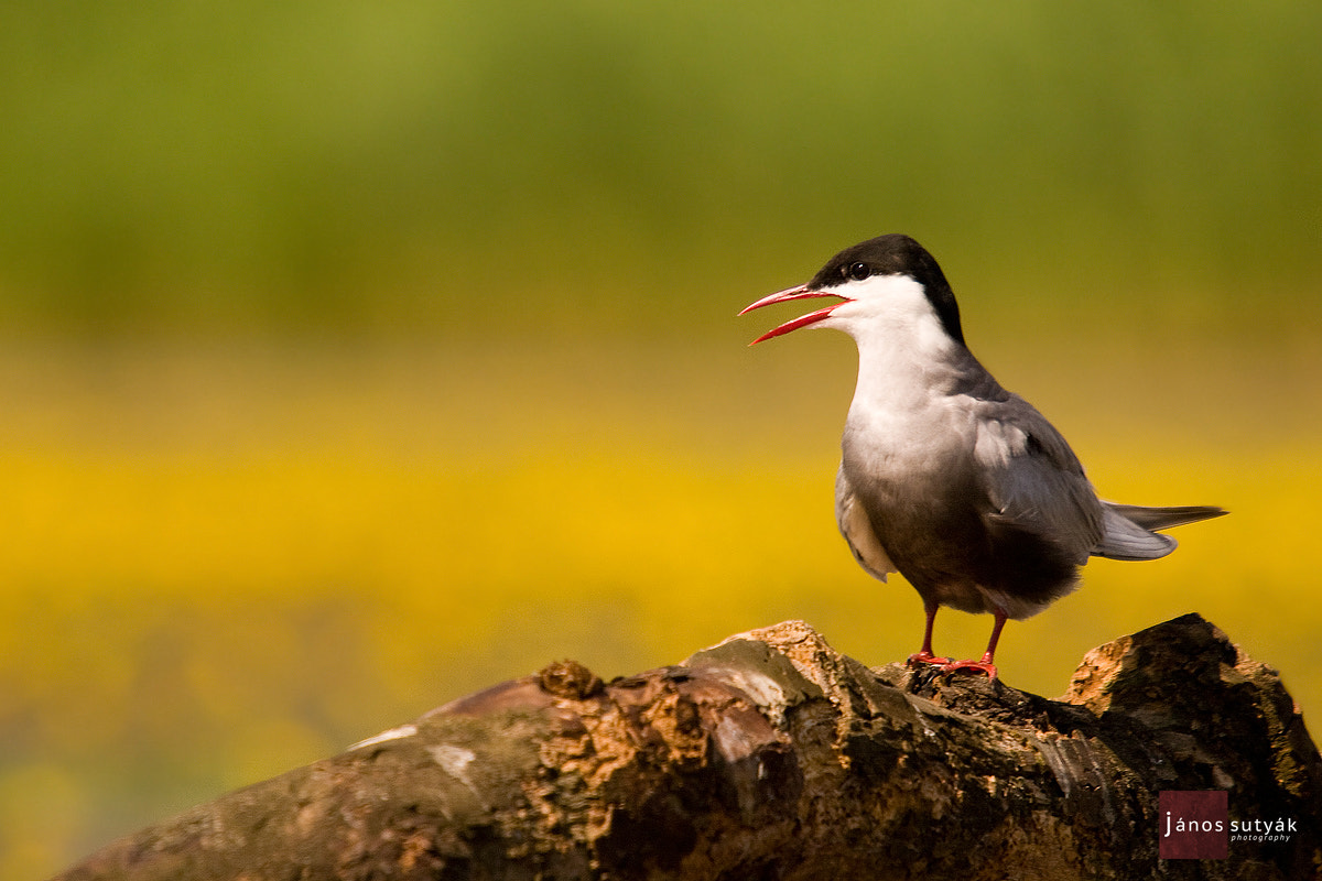 Photograph Whiskered Tern by Janos Sutyak on 500px