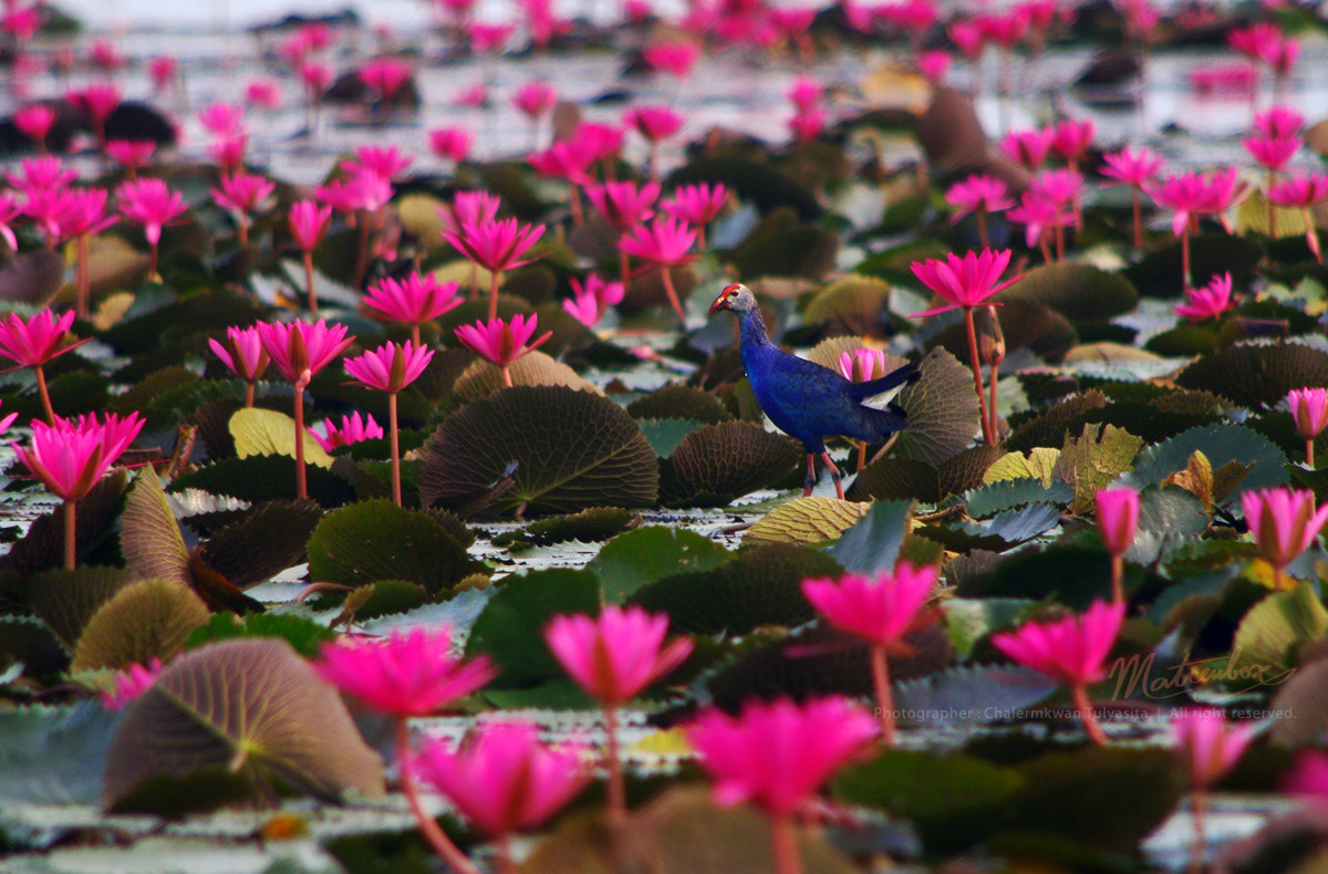 Photograph Bird and Lotus :) by Matcenbox  on 500px
