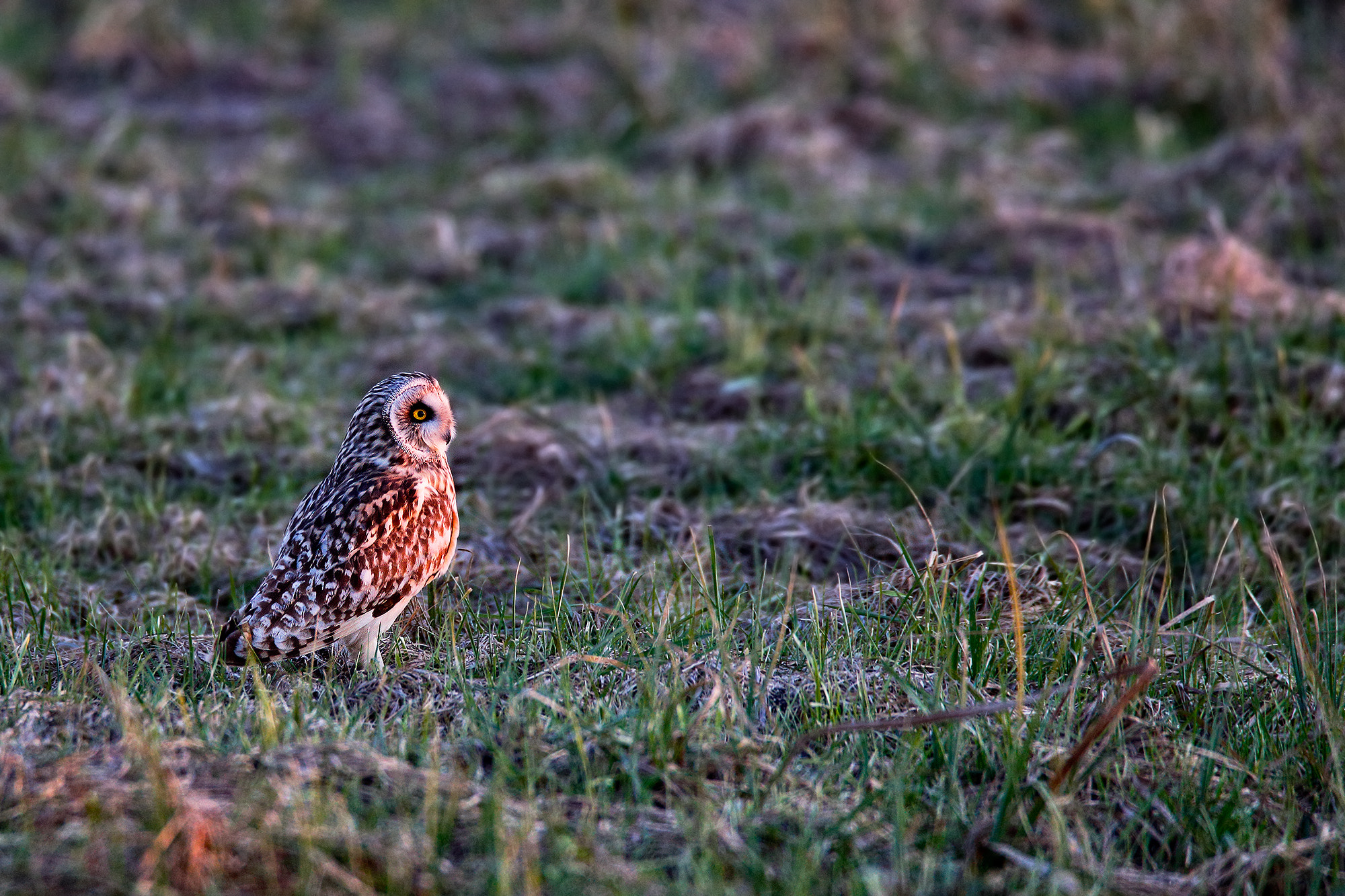 Photograph Short-eared Owl at sunset... by Paolo Guidetti on 500px