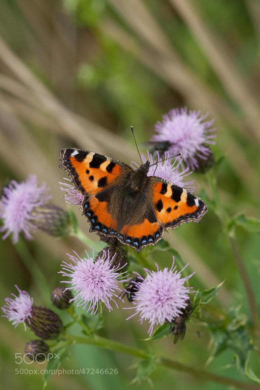 Photograph Nymphalidae Kleine Vos by hennie dekker on 500px