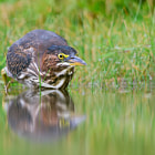 ������, ������: Green Heron in The Zone