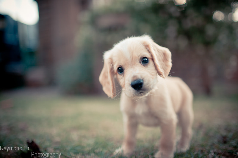 Photograph Puppy by Raymond Lin on 500px