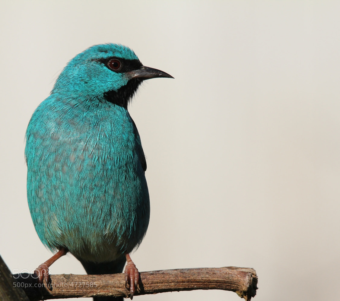Photograph   Blue Dacnis (Dacnis cayana) by Itamar Campos on 500px