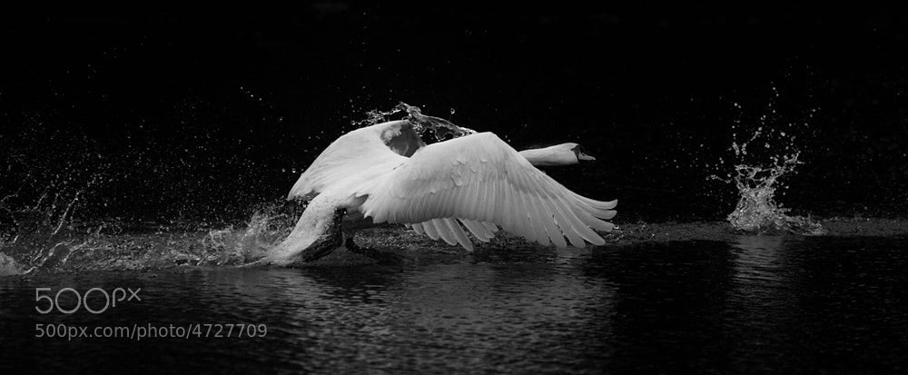 Photograph Swan chasing by Barry Hunter on 500px