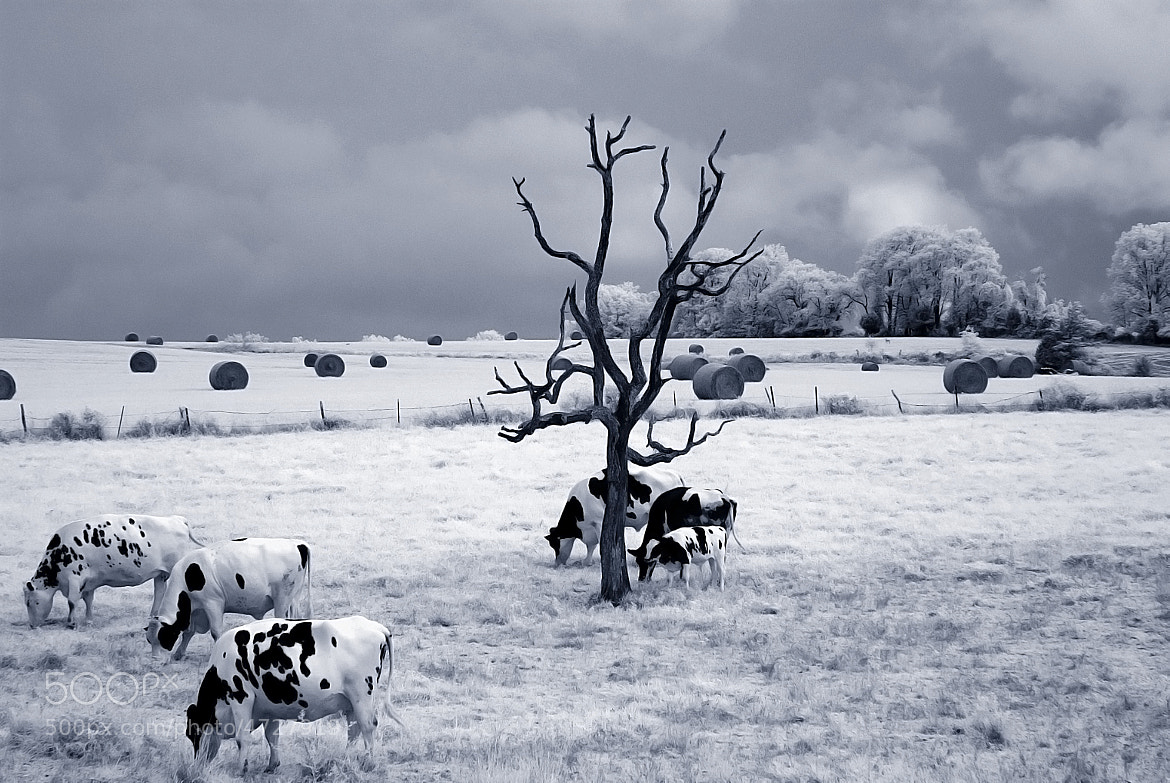 Photograph Infrared Cows in a Hay Field by Jeff Scozzafava on 500px