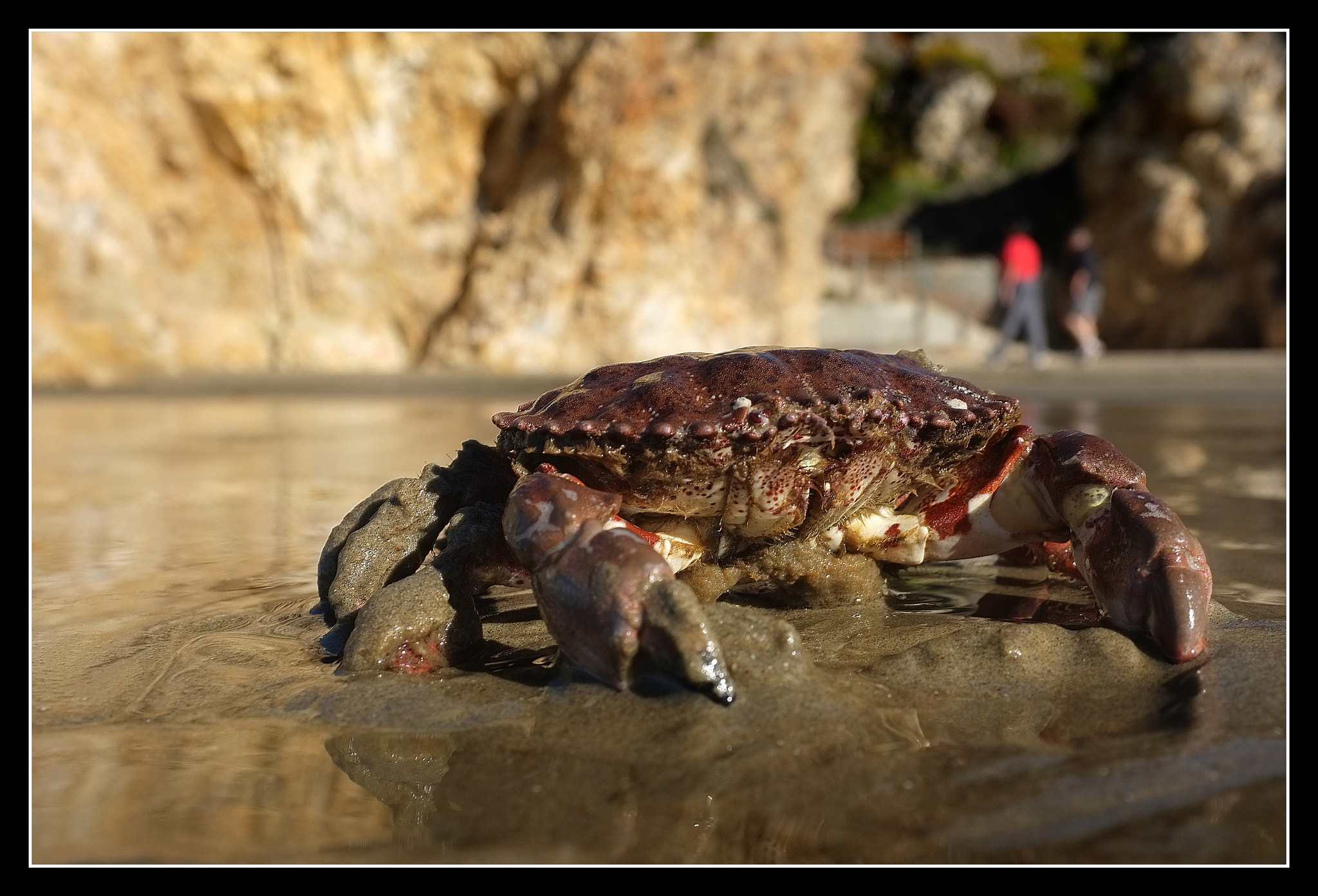 Photograph Pismo Beach crab by Ray Meese on 500px