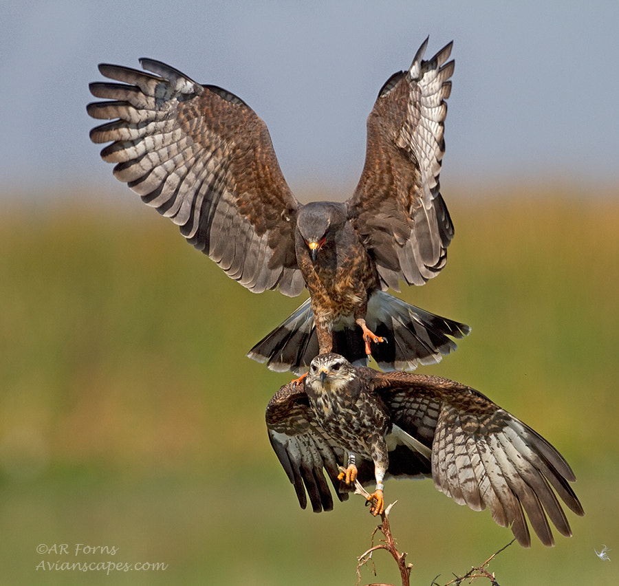 Photograph Snail Kites Mating  by Alfred Forns on 500px