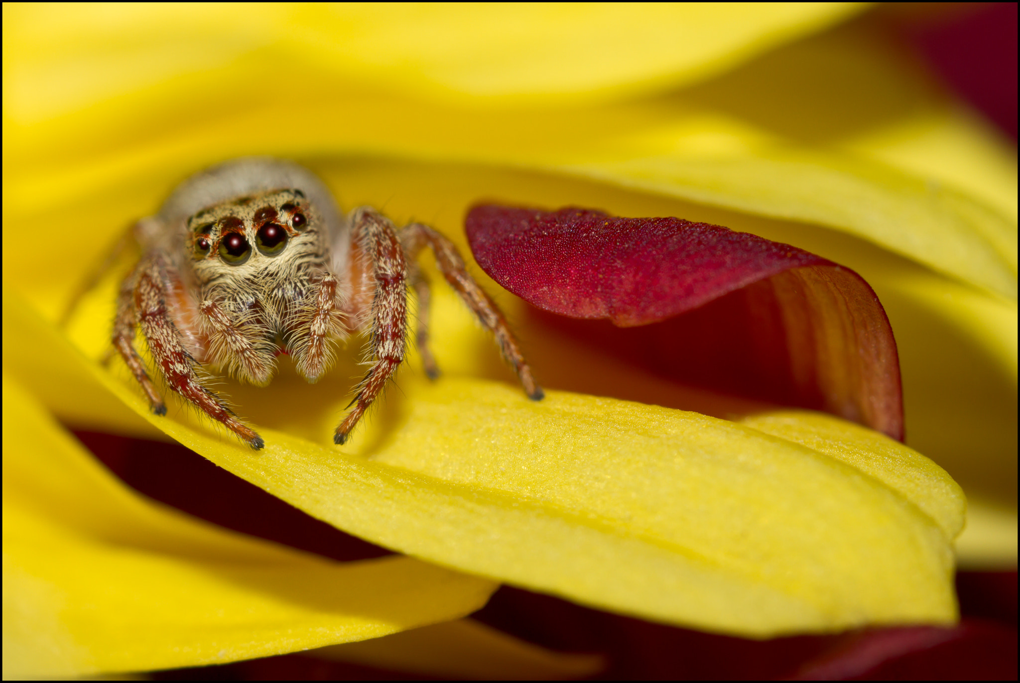 Photograph Jumping Spider - Lick by Steve Passlow on 500px