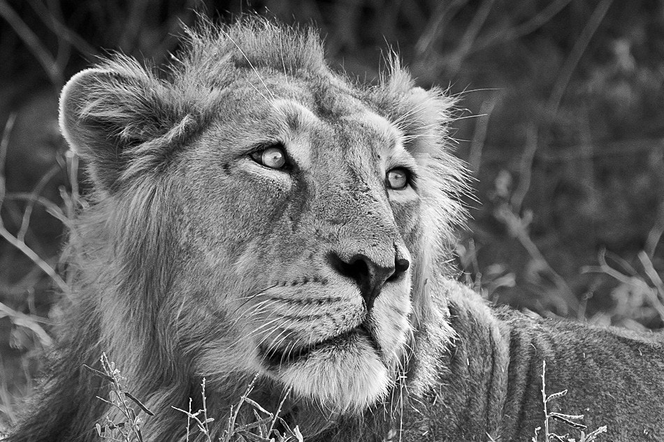 Photograph Asiatic Lion by Nitin  Prabhudesai on 500px