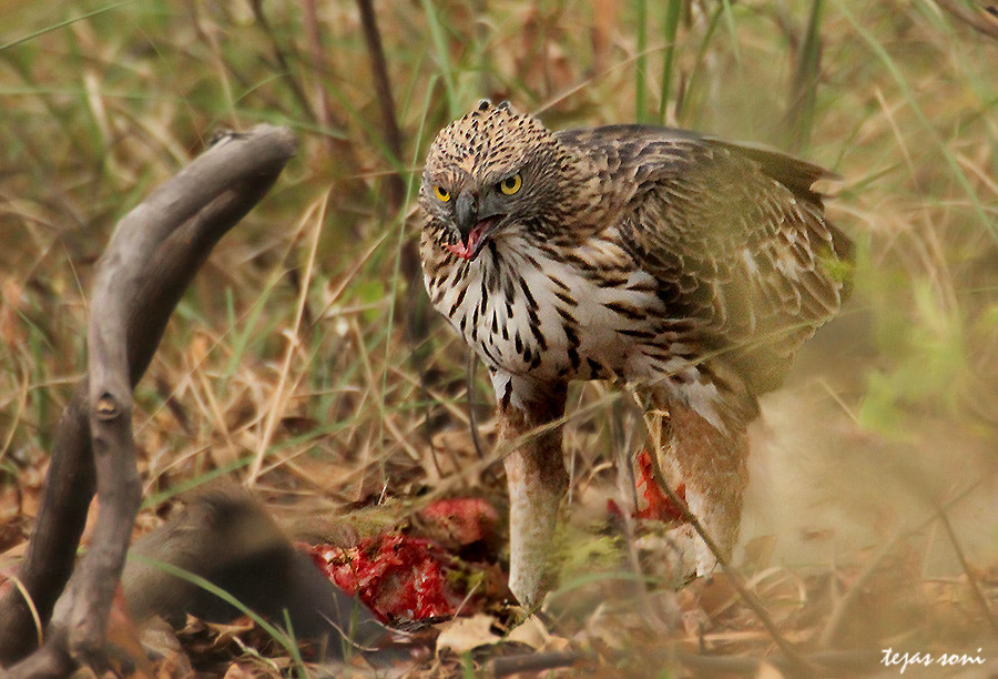 Photograph changeable hawk eagle with kill by Tejas Soni on 500px