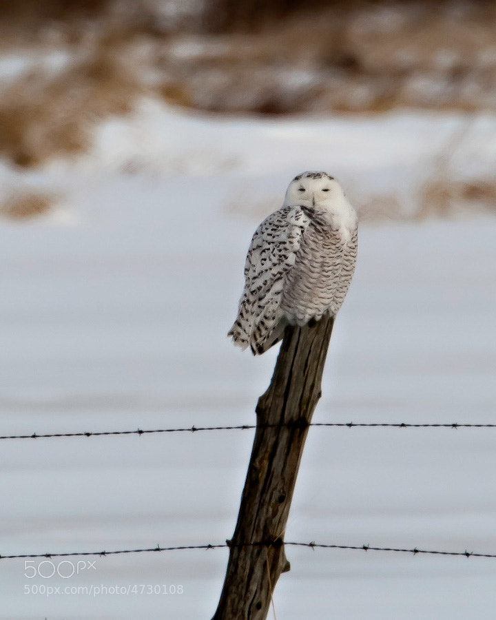 One of six Snowy owls seen on Wolfe Island.  Ontario, Canada