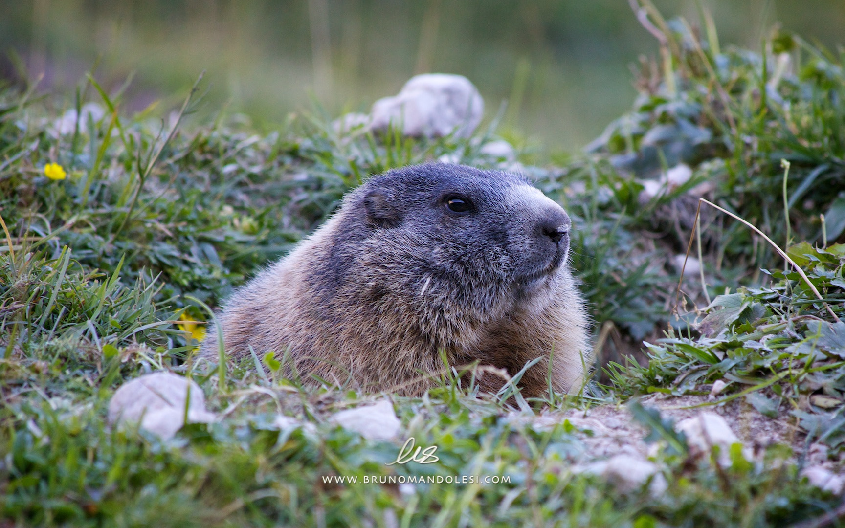 Photograph marmot I by bruno mandolesi on 500px